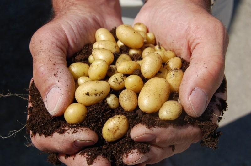 Tohumluk patates