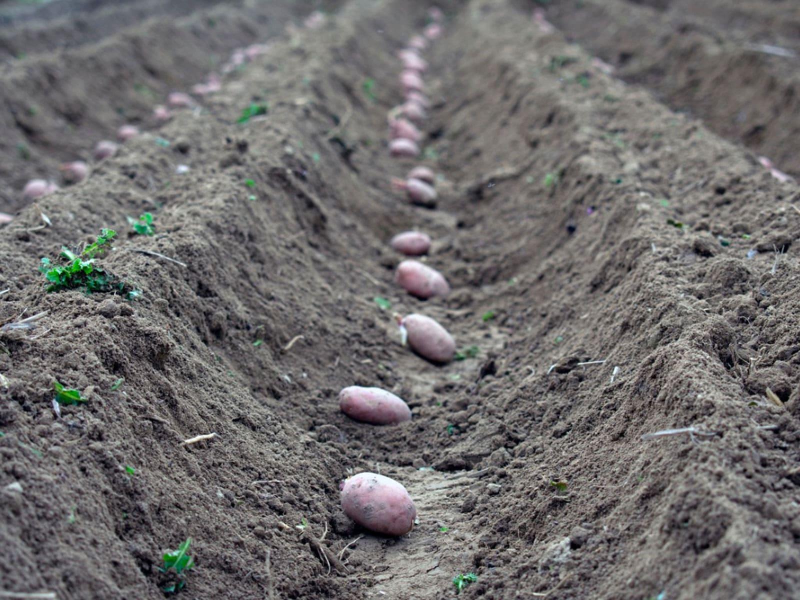 Patates dikimi