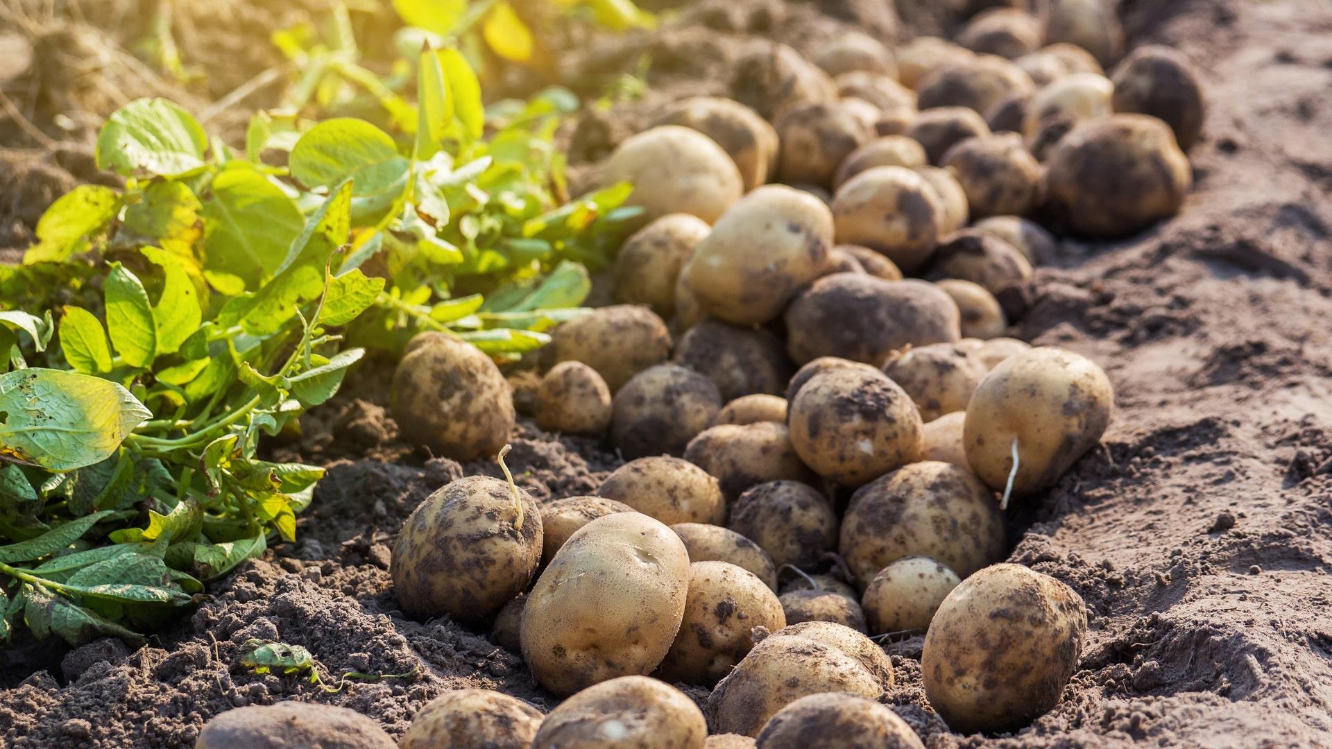 Hasat edilmiş patatesler