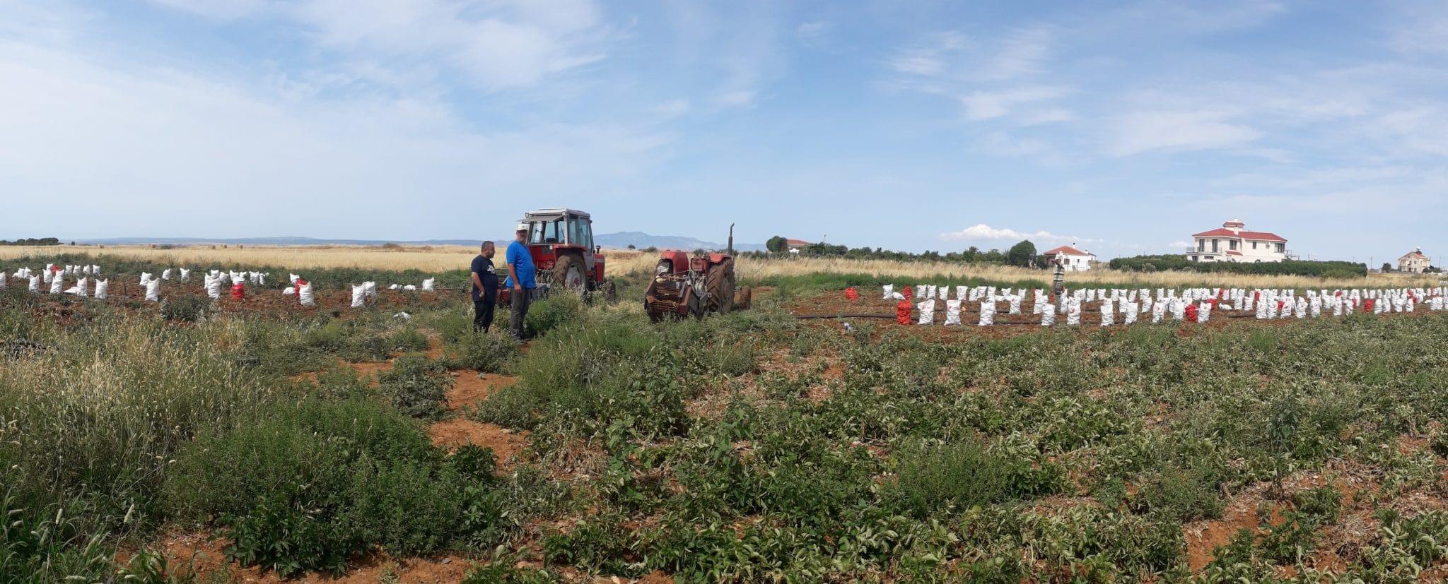 KKTC'de patates hasatı