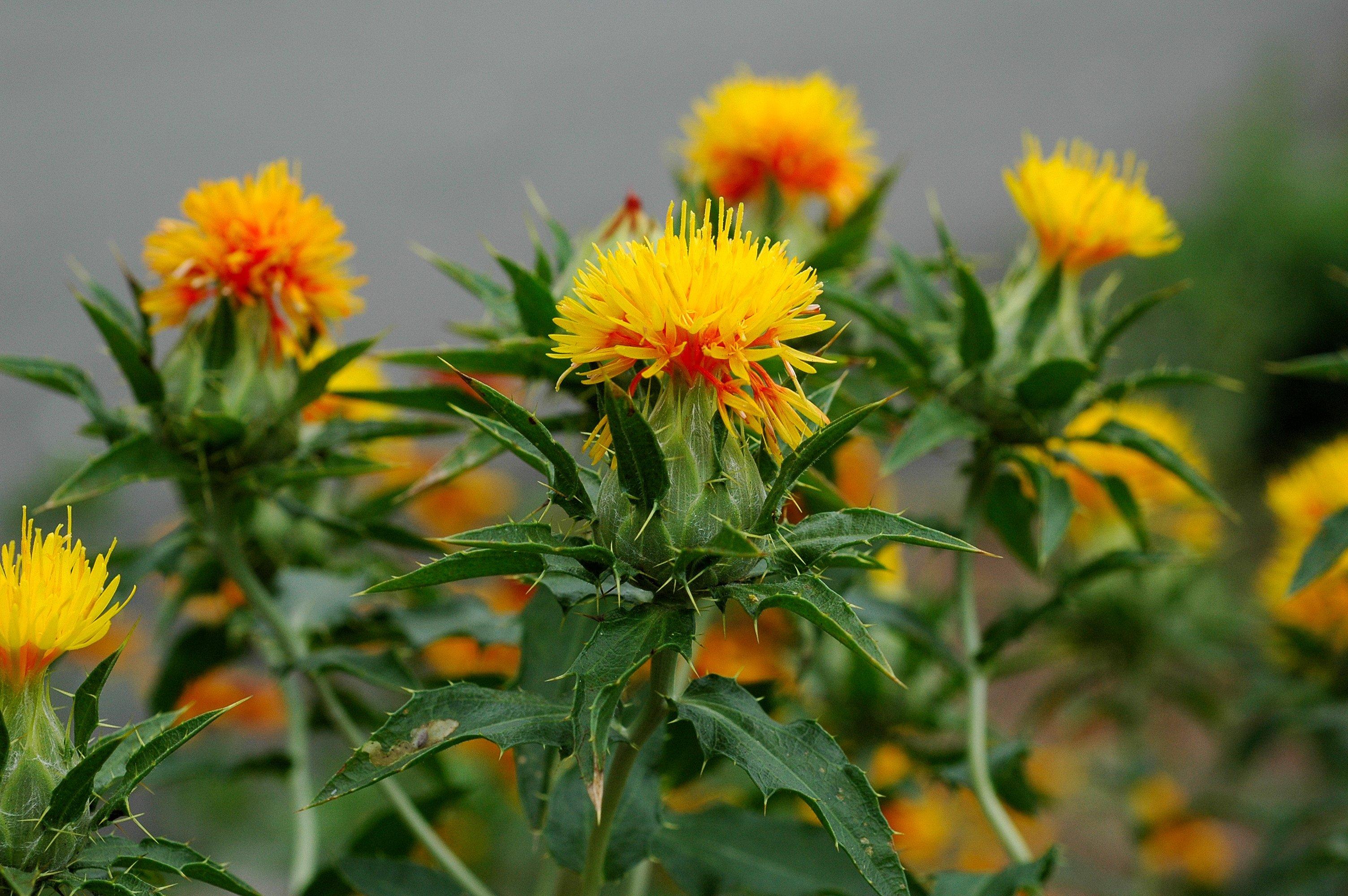 Aspir bitkisi