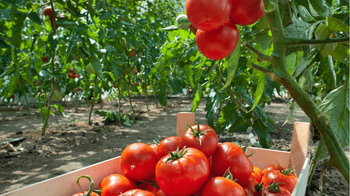 Ağaçların odunsu kısımlarının çürümesine neden olan Ceriporia lacerata mantarının toprağa ilave edilesi sonucu, domates yetiştiriciliğinde daha az gübre kullanıldığı tespit edildi.