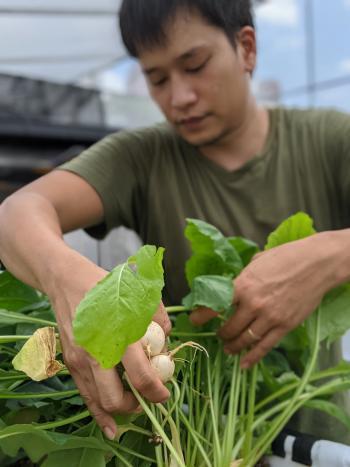 Natsuki's Garden'ın kurucusu Ben Ang, serasında sebze yetiştiriyor.