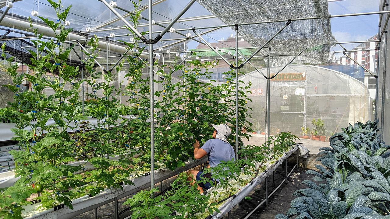 Singapur'da şehir merkezindeki bir okul arazisi içinde kendi tasarladığı serasında üretim yapan çiftçi Ang; tüketicilere en taze ürünleri en uygun fiyatta tedarik etmeyi hedefliyor.