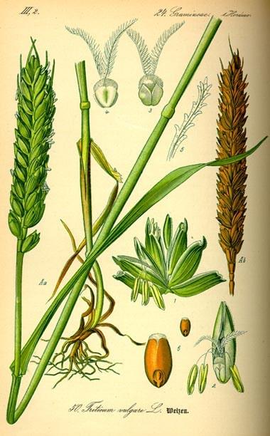 Buğdayda bitki kısımları