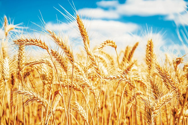 Ekmeklik buğday