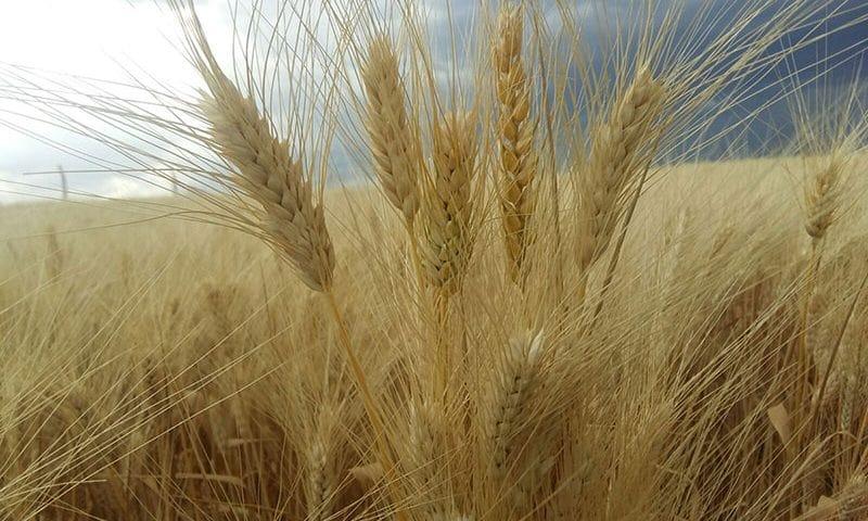 Makarnalık buğday