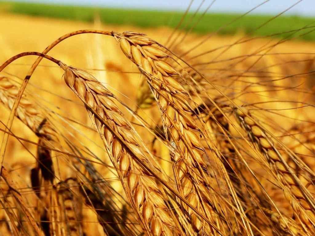 Hasat olgunluğuna gelmiş olan buğdaylar