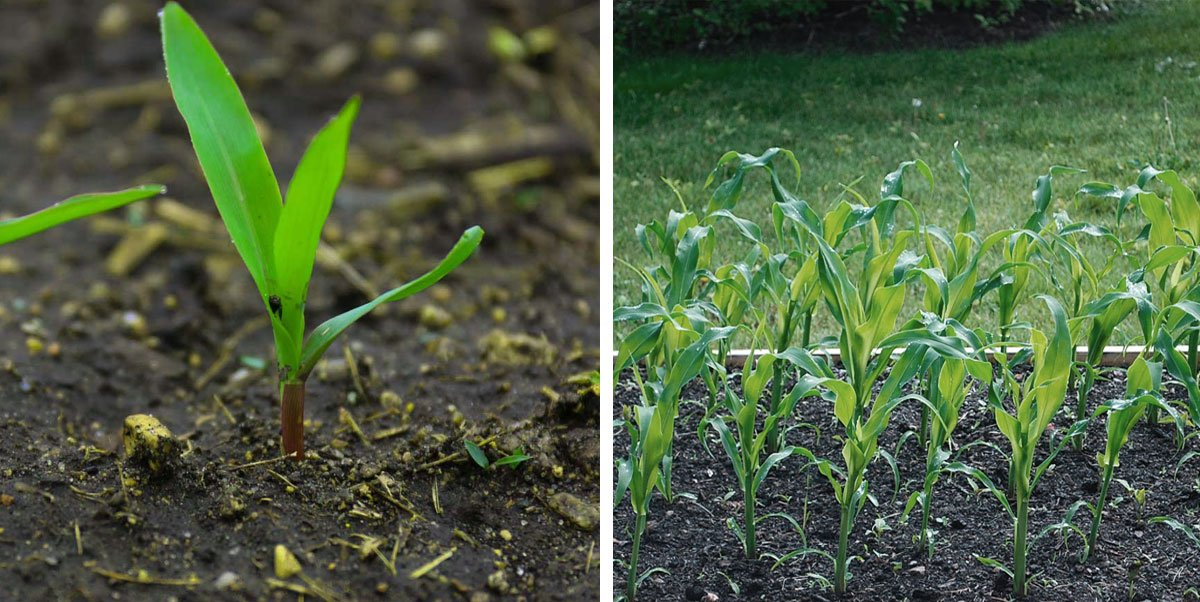 Çimlenmiş mısır bitkisi