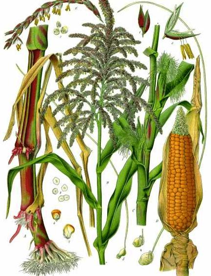 Mısırın bitki kısımları
