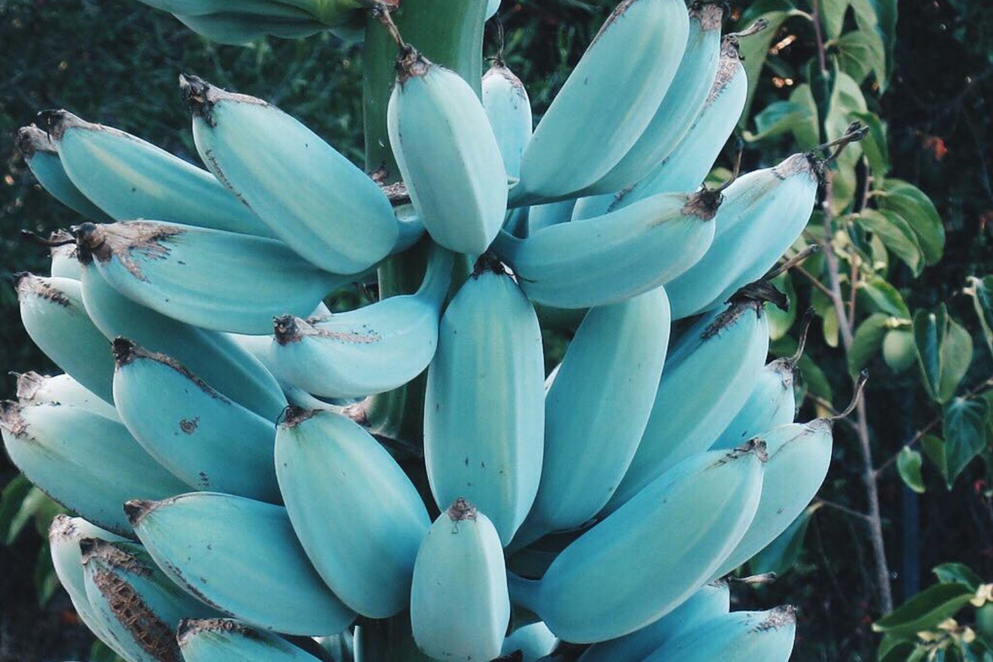 Güneydoğu Asya ve Hawaii'de yetişen Mavi Java Muzları giderek daha popüler hale geliyor.