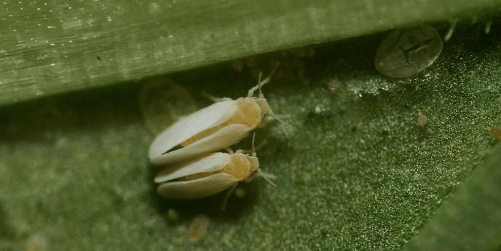 Tütün beyaz sineği