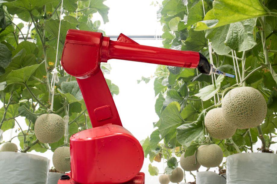 Kavun hasatı yapan bir robot