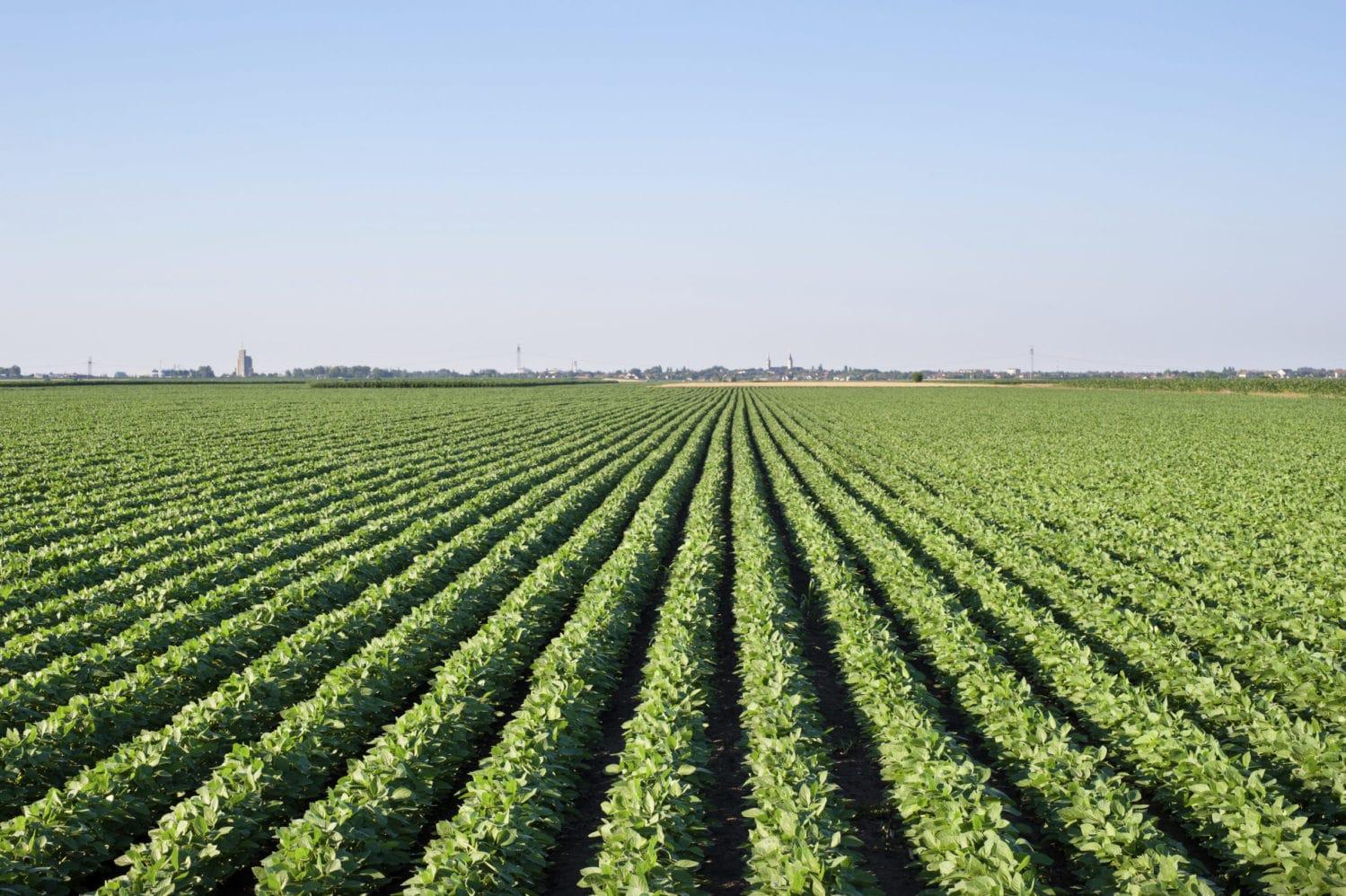 Soya fasulyesi tarlası