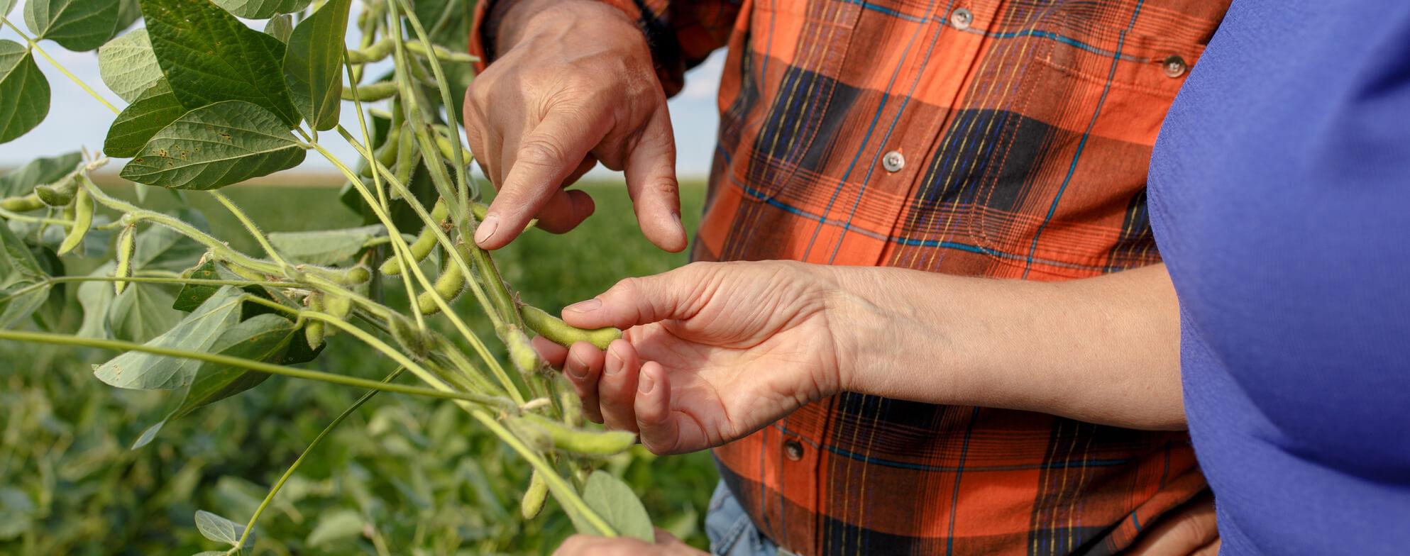 Soya fasulyesi bitkisi
