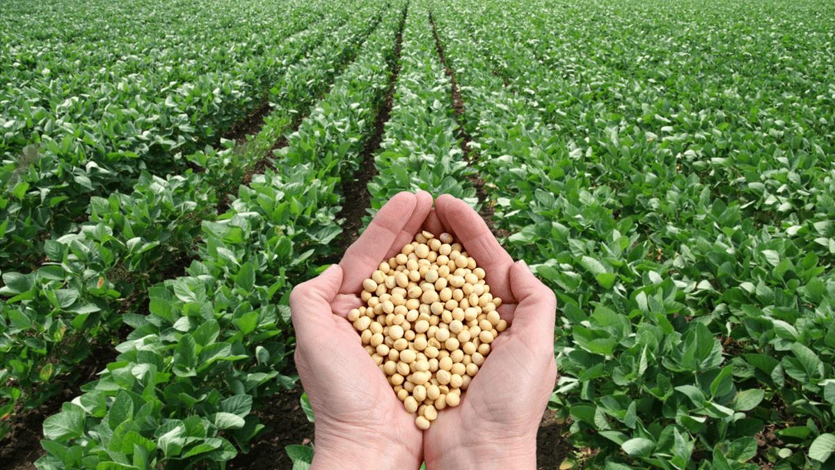 Soya fasulyesi, bugün dünyanın en önemli bitkisel protein ve yağ kaynağı haline gelen önemli bir tarımsal ürünüdür.