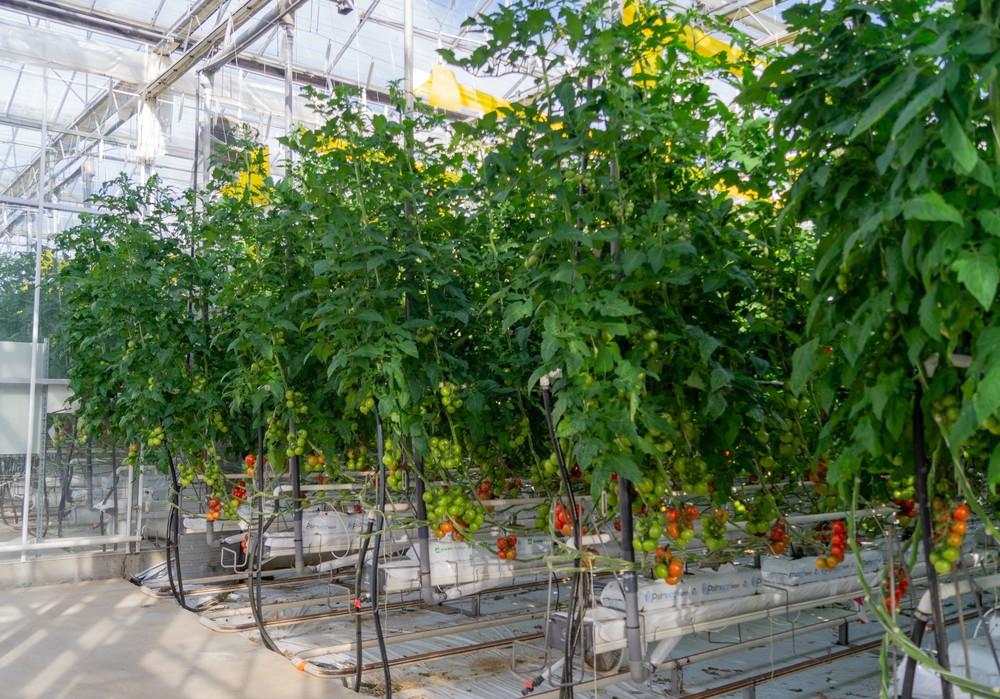 Yüksel Tohumun topraksız yetiştiriciliğe uygun domates çeşitleri
