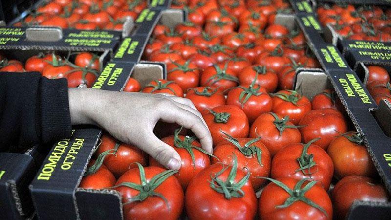 İhracat için kasalanan Rus domatesleri