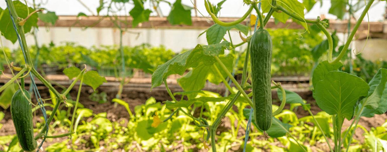 2020 yılında Dünya genelinde gerçekleşen salatalık ihracatı değeri yaklaşık 2,5 milyar € ile rekor kırdı.