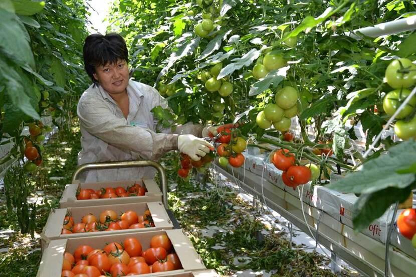 Rusya'daki bir domates serasında hasat