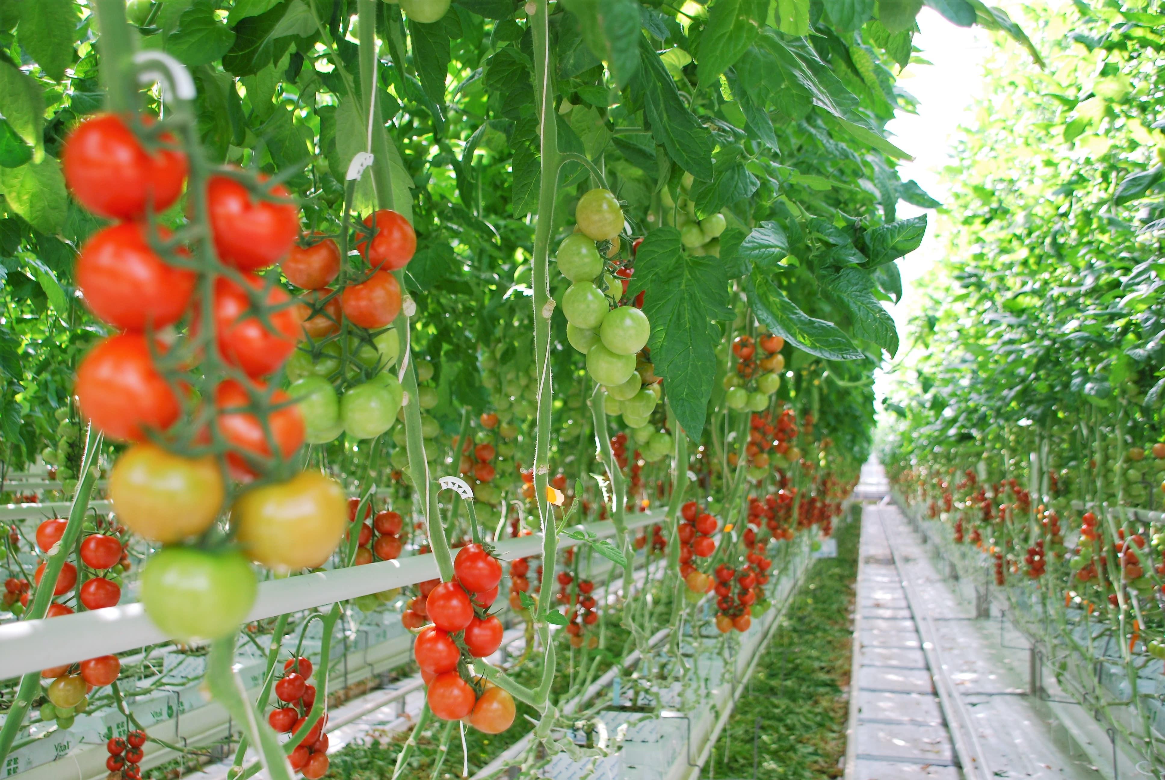 Rusya'daki bir domates serası