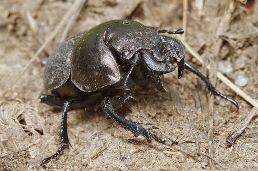 Makaslı böcek ergini