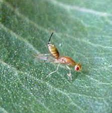 Megastigmus pistaciae ergini