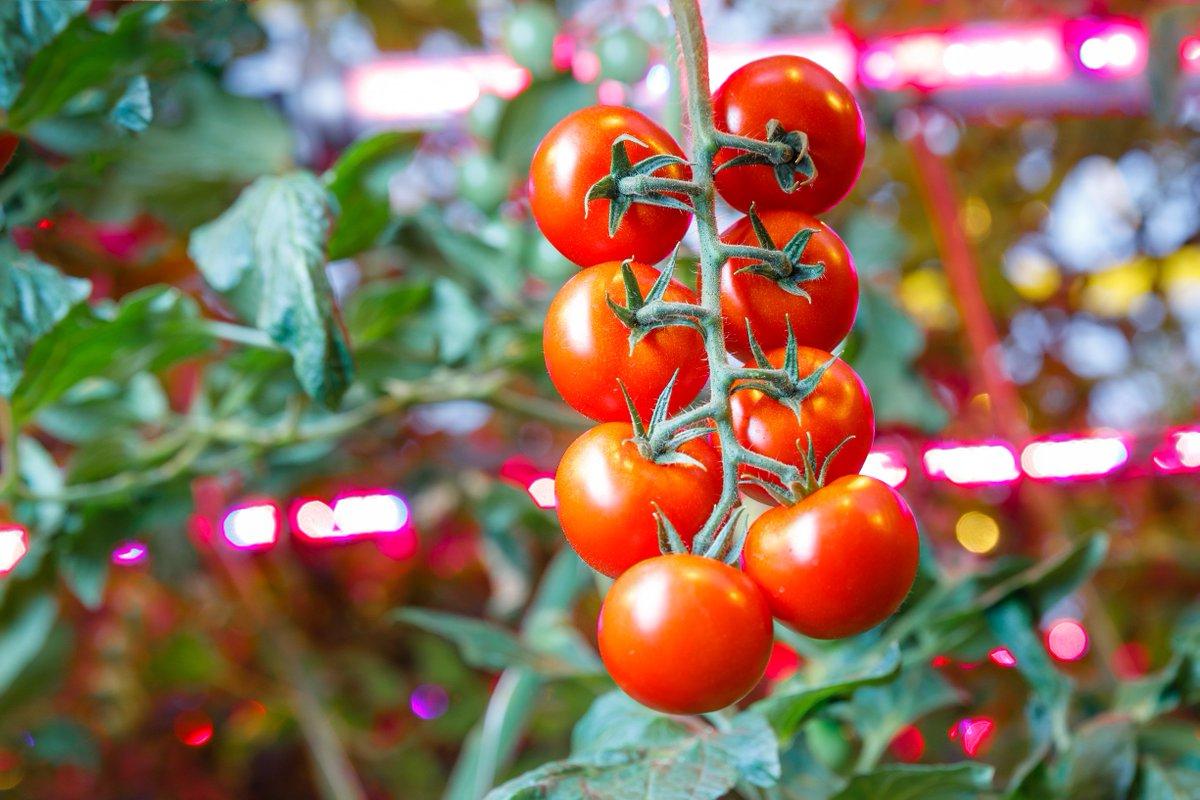 Kontrollü ortamda yetiştirilen domatesler