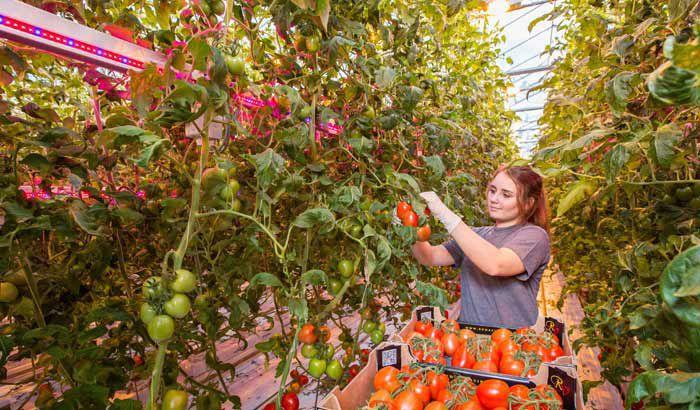 Led aydınlatmada yetiştirilen domateslerin hasatı