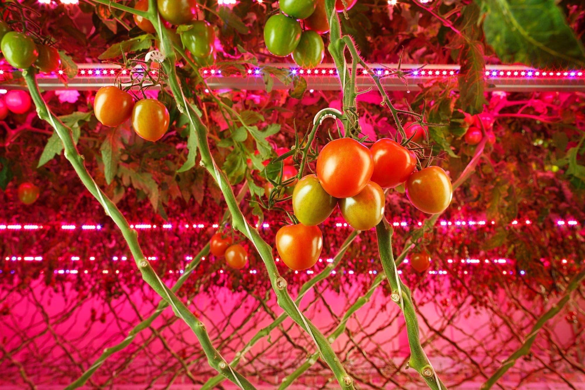 Led aydınlatma ile yetiştirilen domatesler