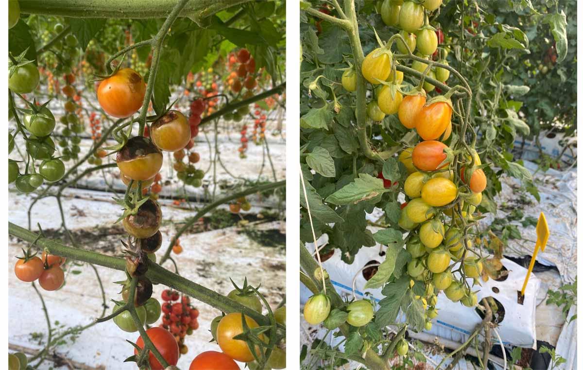 Domates kahverengi buruşuk meyve virüsü (ToBRFV) yayılımı, Hollanda'lı domates üreticilerini zarara uğratmaya devam ediyor.