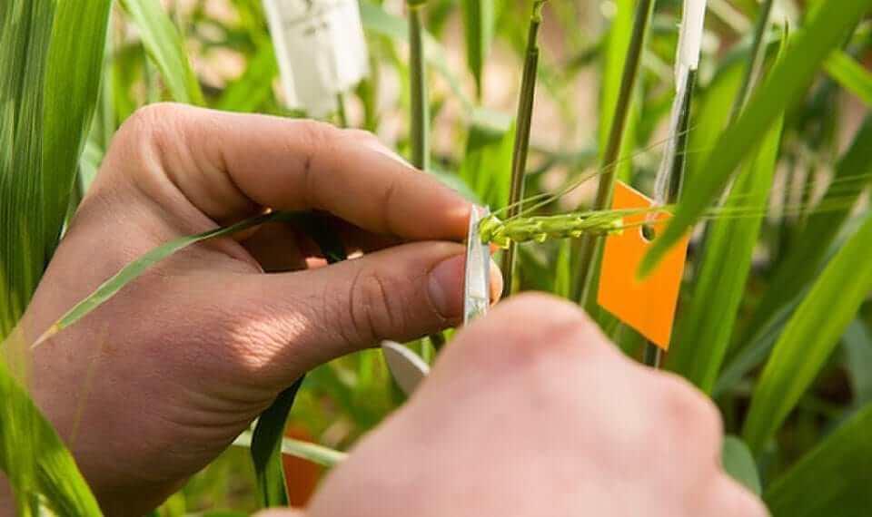 Değişen iklim koşulları ve küresel ısınmayla birlikte, tarımın sürdürülebilirliği açısından bitkilerdeki dayanımın arttırılması, ıslah için önemli bir hal almıştır.