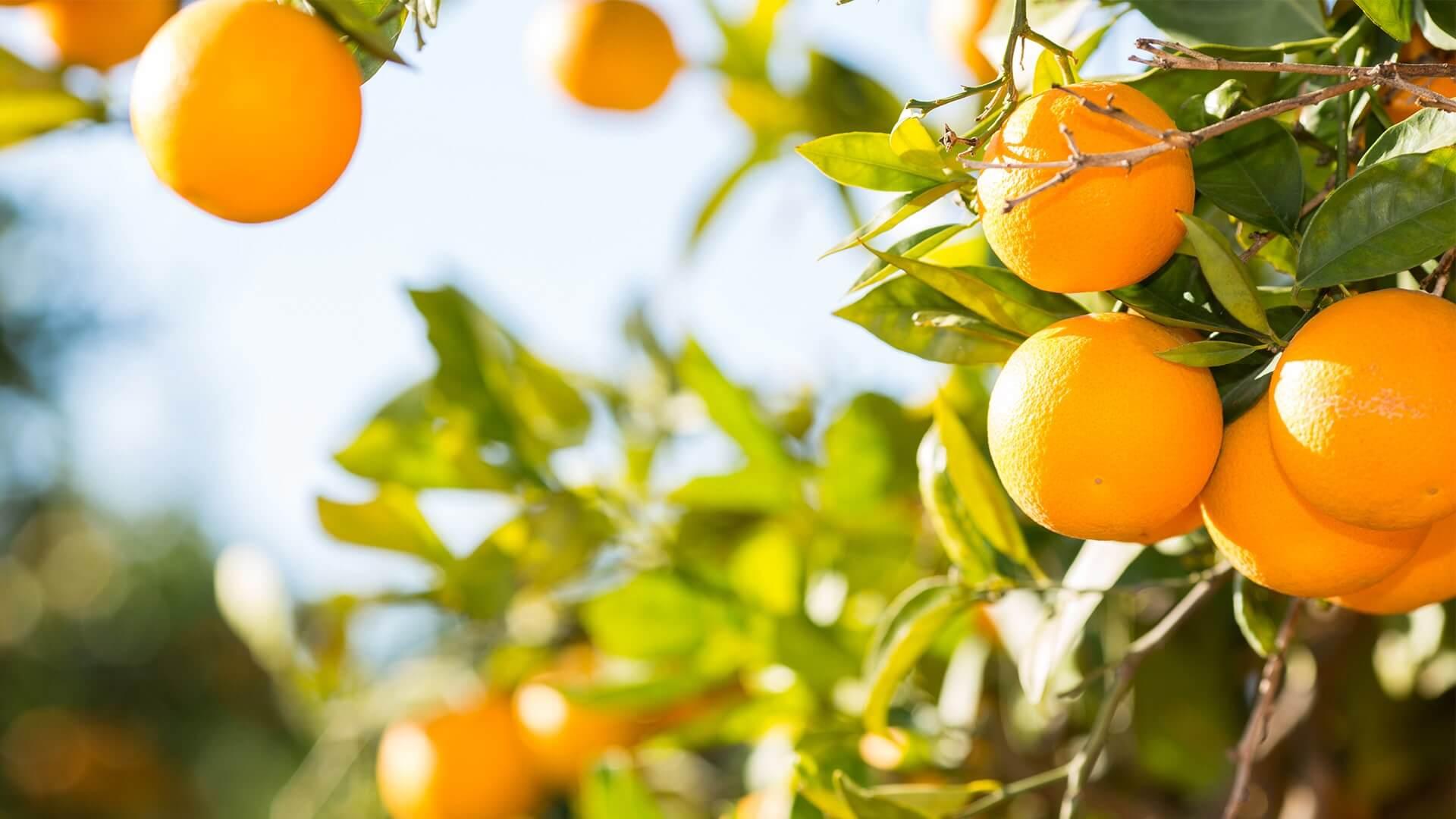 Dünyadaki en etkili turunçgil hastalığı olarak tanımlanan turunçgil yeşillenmesi, ağaçların üretim ömrünü kısaltarak turunçgil endüstrisine büyük tehdit oluşturmaktadır.