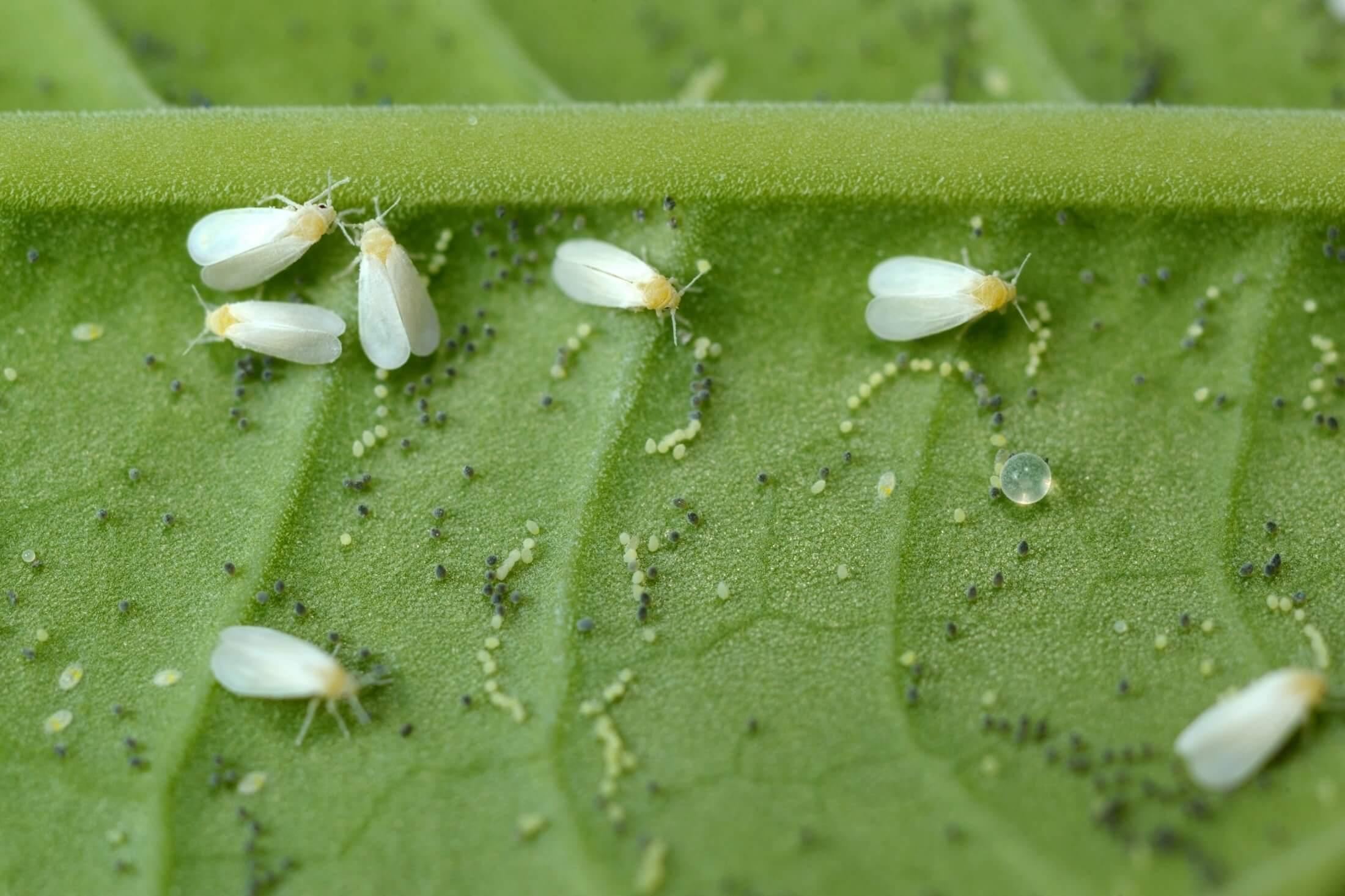 Beyaz sinek ve thripsler, direkt olarak bitki üzerinde beslenerek, bir çok mahsule ekonomik açıdan ciddi zararlar vermektedir.