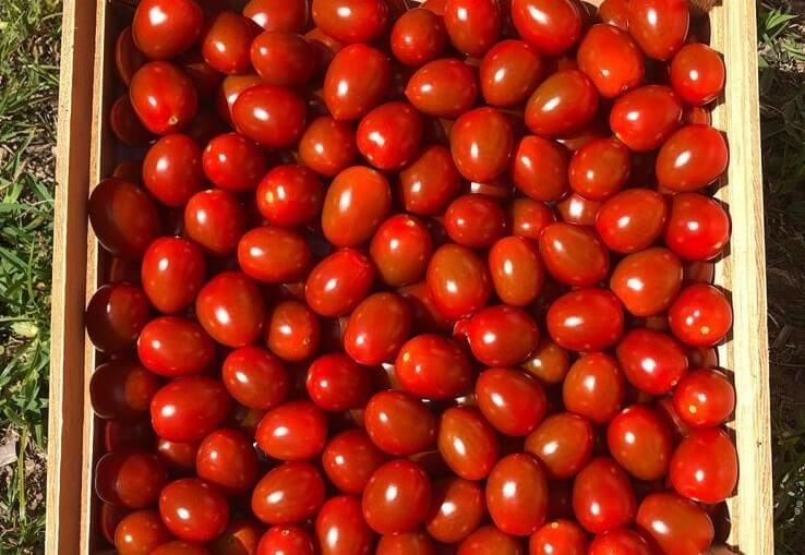 BASF, Meksika'daki yeni sezonda, Domates Kahvesi Rugose Meyve Virüsüne (ToBRFV) karşı orta dirençli olan ilk domates çeşidini piyasaya sundu.