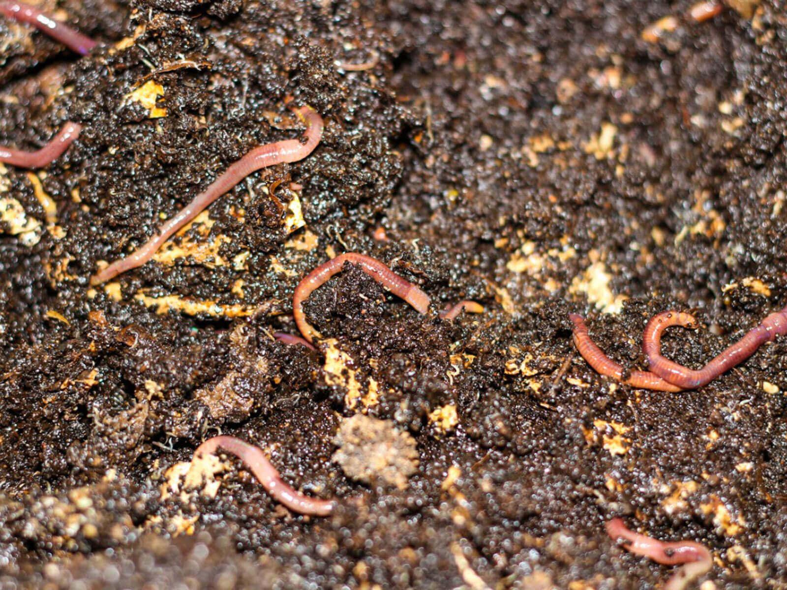 Organik ve son derece etkili olan solucan gübresi, profesyonel üreticilerin yanı sıra, ev veya bahçelerinde hobi olarak üretim yapanlar tarafından da tercih edilmektedir.
