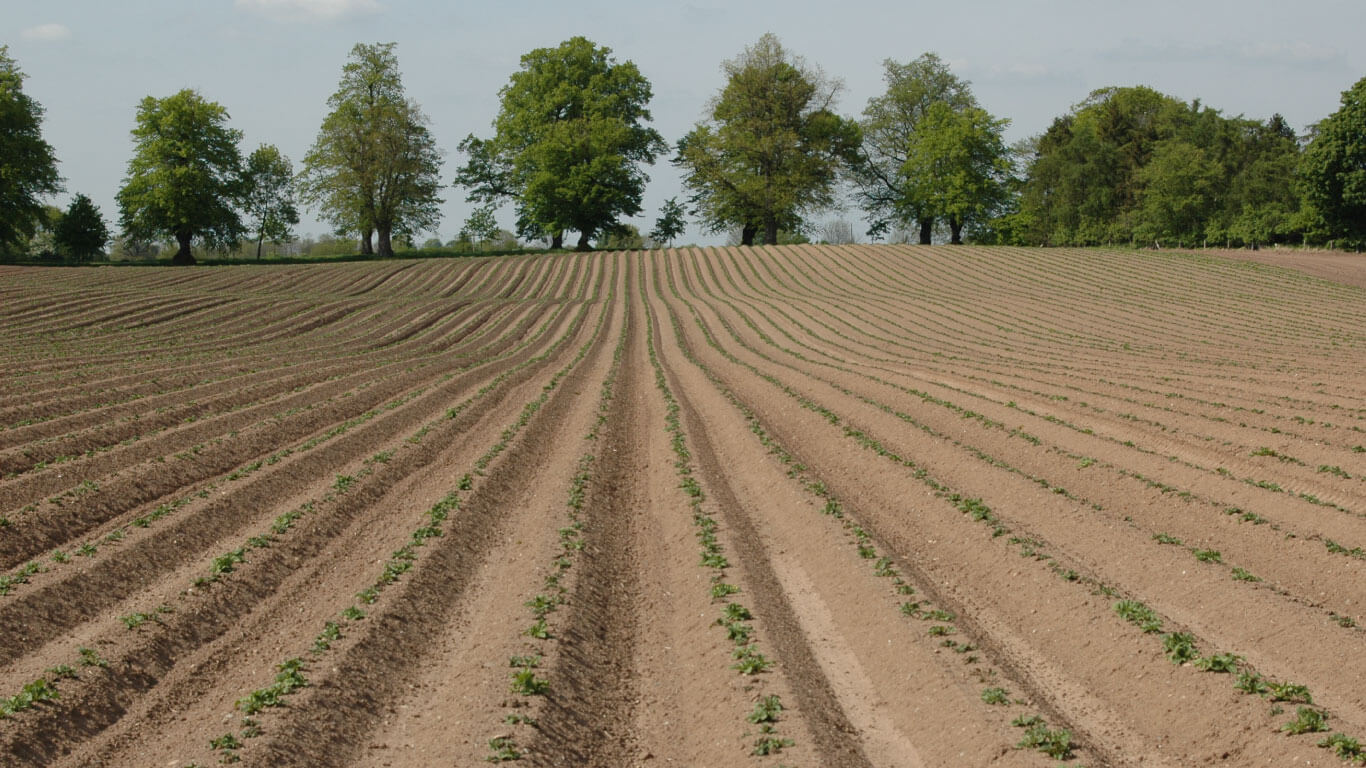 Patates tarlalarında yabancı otlar için kültürel önlemler alabilir, fiziksel, mekanik ve kimyasal mücadele verebilirsiniz.