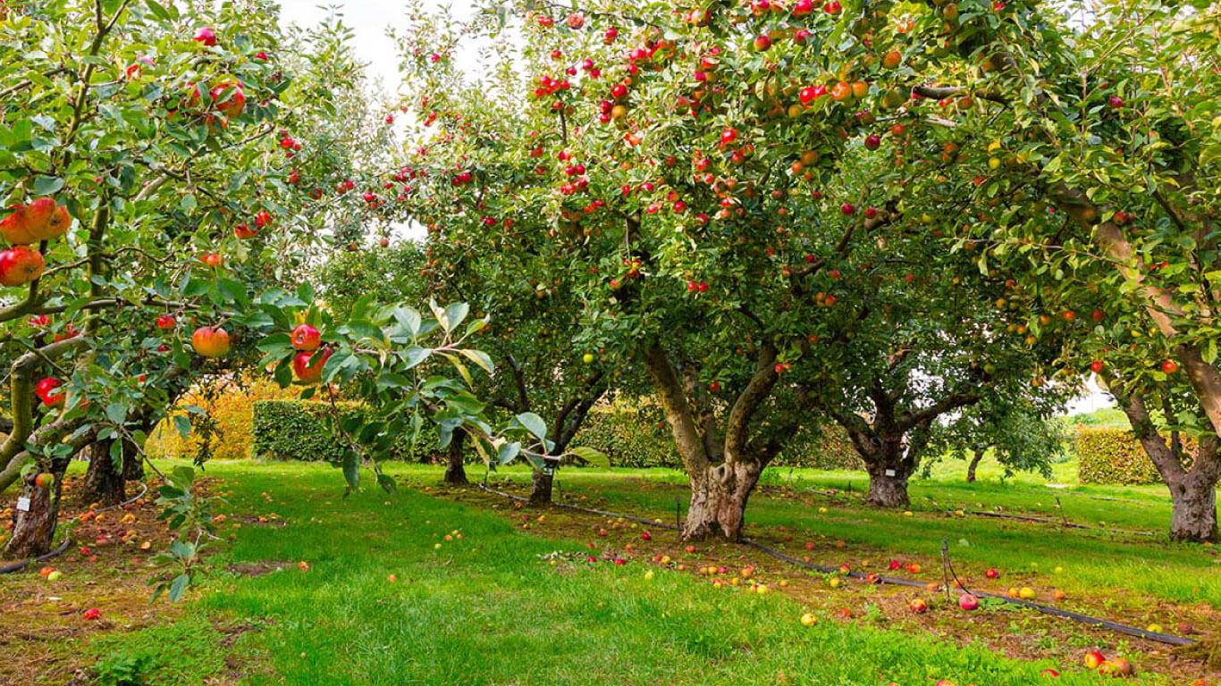 Elma, armut ve ayva bahçelerindeki yabancı otlar için kültürel önlemler alabilir, fiziksel, mekanik ve kimyasal mücadele verebilirsiniz.