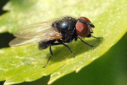 İncir sineği ergini
