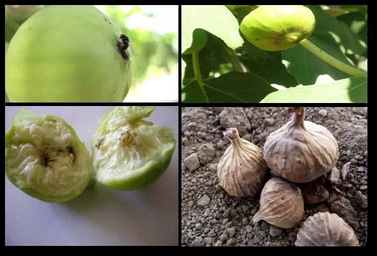 İncir sineğinin yumurta bırakan ergini, ağaç üzerinden bulaşık meyve, meyve içerisindeki larva, zarar nedeniyle dökülen meyve ve üzerindeki larva çıkış delikleri