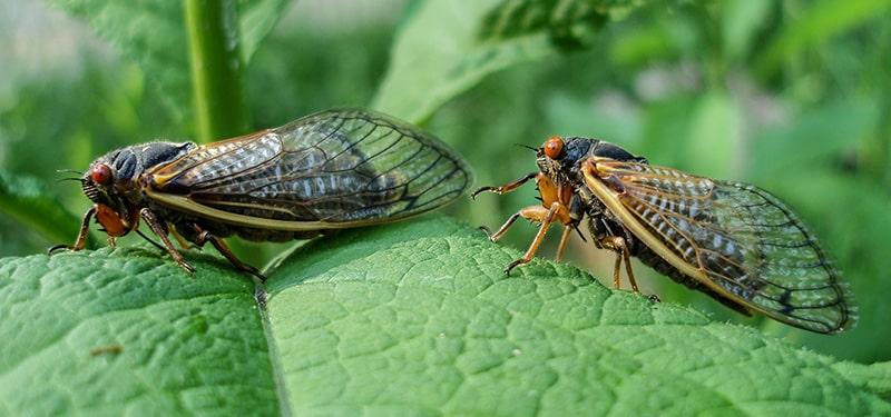 Ağustos böceği ergini