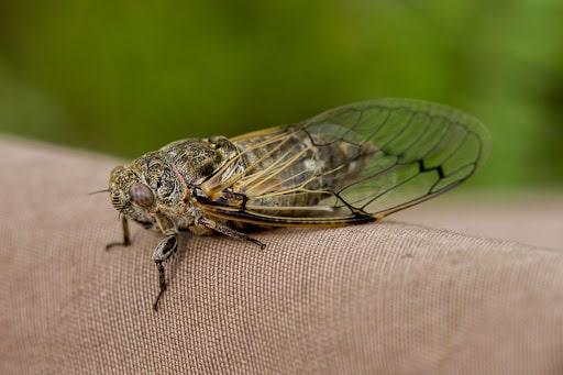 Cicadatra adanai ergini