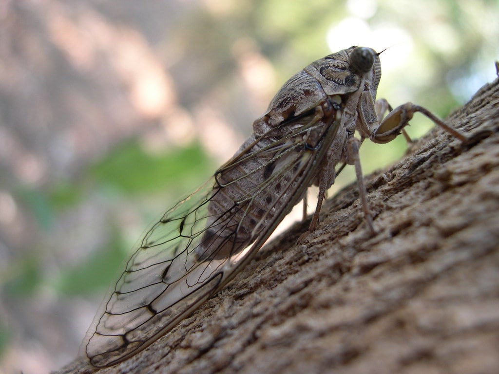 Cicada mordoganensis ergini