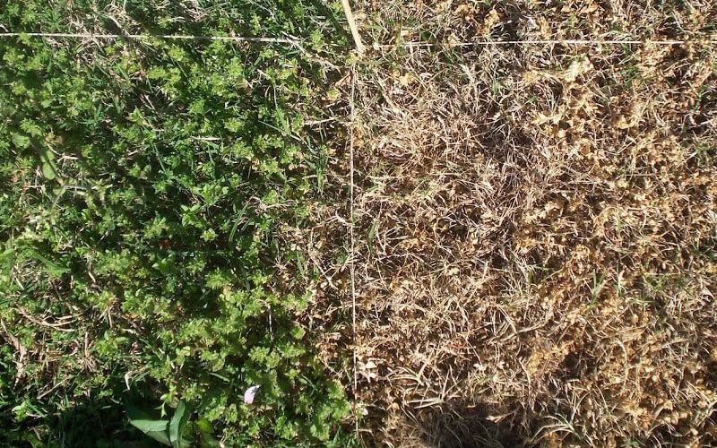 Herbisit kullanımı öncesi ve sonrası yabani otlar.
