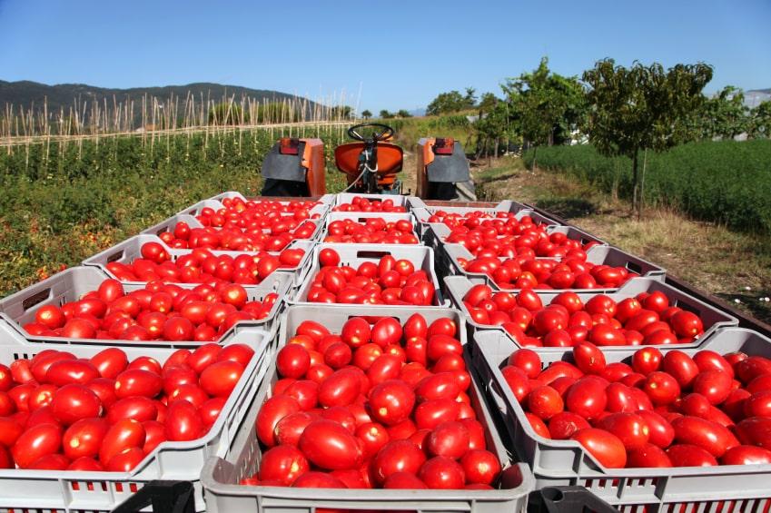 2016 yılına göre domates ihracatını %13,68 arttıran Fas, 2020 yılında 596,72 milyon kilo domates ihracatı gerçekleştirdi.