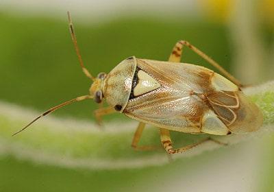 Lygus italicus