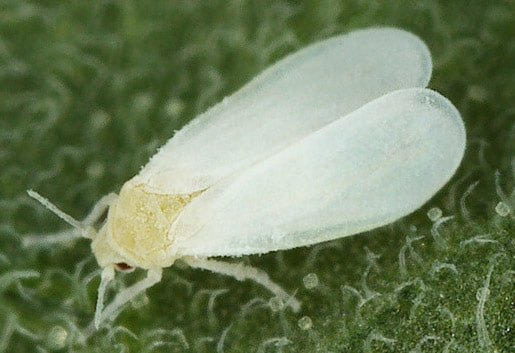 Sera beyaz sineği ergini