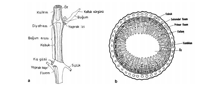 Bir yaşlı asma dalının (a) boyuna ve (b) enine kesiti