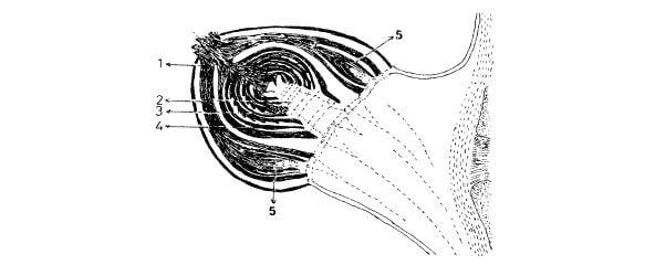 Bir kış gözünün boyuna kesidi, (1) ana tomurcuk, (2) sürgün taslağı ana ekseni, (3) salkım taslağı, (4) yaprak taslağı, (5) yan tomurcuklar