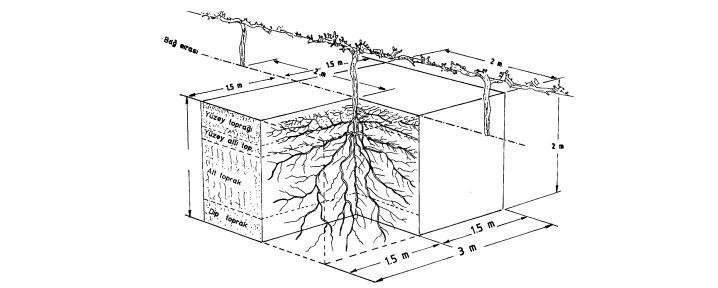3x2 m aralıkla dikilmiş bir bağda 2 m'lik toprak derinliğinde bir omcaya ait köklerin toprak katmanları içindeki dağılımı
